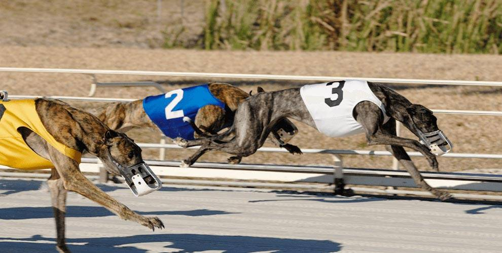Greyhound Dog Racing | OTB